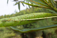 Oleander leaves densely covered with scale insects. Mealy mealybug. Stock Images