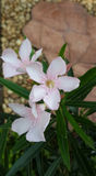 Oleander. Lovely Oleander with soft pink flowers and green leaves Stock Image