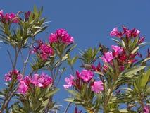 Oleander am Naturreservat bei Skala Kalloni Lesvos Griechenland Stockfoto