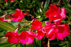 Nerium oleander blooming in red royalty free stock images