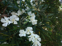Oleander, Nerium oleander Stock Photo