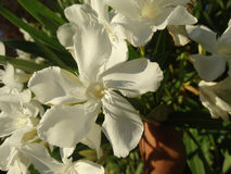 Oleander, Nerium oleander Royalty Free Stock Photo