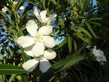 Oleander, Nerium oleander Royalty Free Stock Image
