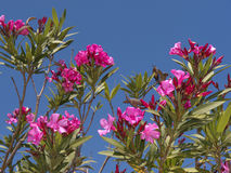 Oleander på naturreserven på Skala Kalloni Lesvos Grekland Arkivfoto