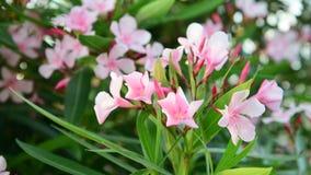 Oleander is perennial evergreen shrub stock video