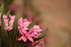 Oleander. The pink blooms of an Oleander Nerium oleander blooming in the Gorge du Dades, Morocco Royalty Free Stock Photo