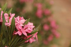 Oleander Royalty Free Stock Photography