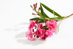 Oleander, pink blossoms, white background Stock Photography