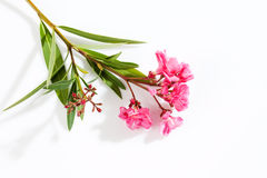 Oleander, pink blossoms, white background Stock Images