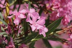 Oleander. Pink oleander bush, close up Stock Photography