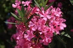 Oleander. Pink oleander flower, close up Stock Photos