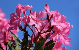 Oleander. Pink oleander flower, close up Stock Photography