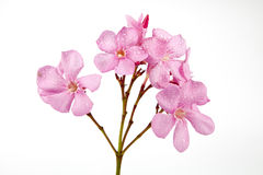 Oleander pink Royalty Free Stock Photos