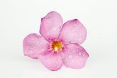Oleander pink Stock Images