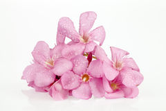 Oleander pink Stock Photography