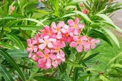 Oleander pink flower,Nerium oleander L,Apocynaceae Stock Photo