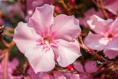 Oleander pink flowers Stock Photography