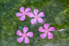 Oleander pink flowers floating in freshwater Stock Images