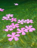 Oleander pink flowers floating in river Royalty Free Stock Image