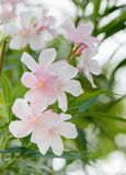 Oleander with pink flowers Royalty Free Stock Photo
