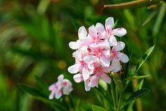 Oleander pink rose flowers with leaves. Oleander shrub, pink rose flowers with leaves. Nerium oleander Royalty Free Stock Image