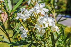 White oleander in the Arboretum of the city of Sochi. Oleander is a poisonous plant. Oleander juice contains a number of cardiac glycosides, some of which find Stock Photos