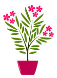 Oleander in pot Stock Images