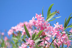 Oleander rose bay flower Royalty Free Stock Photography