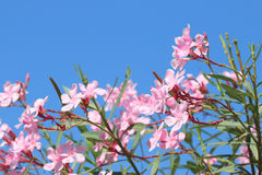 Oleander rose bay flower Royalty Free Stock Photo
