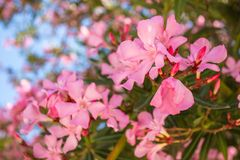 Oleander rose bay flower Stock Image