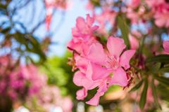 Oleander rose bay flower Stock Images