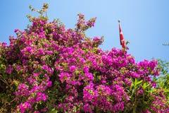Oleander rose bay flower Stock Images