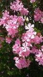 Oleander. Rose Oleander  flower on green leaves background Royalty Free Stock Photo