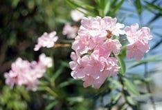 Oleander rosfjärdblomma med tjänstledigheter Royaltyfria Foton