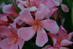 Oleander` s roze bloemen Stock Foto's