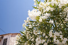 Oleander on Samos Stock Image