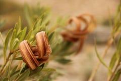 Oleander Seedpods royalty free stock image
