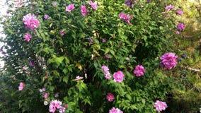 Oleander shrub. Pink flower garden plants flowers Stock Photo