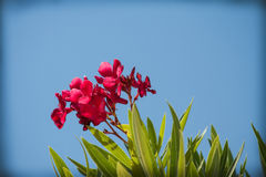 Oleander Royalty Free Stock Image