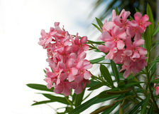 Oleander tree Royalty Free Stock Images