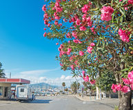 Oleander tree in Alghero harbor on a clear day Stock Photography