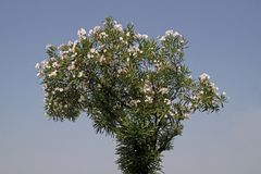 Oleander tree with blossoms Royalty Free Stock Photo