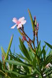 Oleander tree Stock Photo