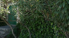 The oleander tree and the ivy-covered wall. Flora of Montenegro stock footage