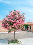 Oleander tree Stock Image