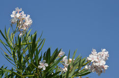 Oleander white. With the blue sky as background Royalty Free Stock Photography