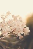 Oleander. White flowering oleander (Nerium oleander Royalty Free Stock Photo