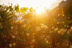 Oleander Royalty Free Stock Photos