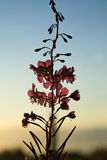 oleander willowherb bij de Zonsondergang Stock Fotografie