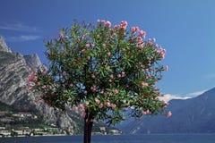 Oleanderbaum (Neriumoleander) See Garda Lizenzfreies Stockfoto